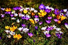 生长在温暖的春天的精美五颜六色的拔塞螺旋晒黑amo 库存图片