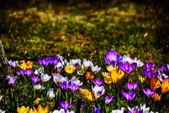 生长在温暖的春天的精美五颜六色的拔塞螺旋晒黑amo 免版税图库摄影