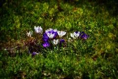 生长在温暖的春天的精美五颜六色的拔塞螺旋晒黑amo 库存照片