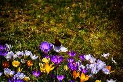 生长在温暖的春天的精美五颜六色的拔塞螺旋晒黑amo 图库摄影