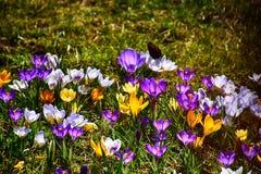 生长在温暖的春天的精美五颜六色的拔塞螺旋晒黑amo 免版税库存图片