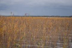 生长在湖中水的五颜六色的芦苇秋天特写镜头  图库摄影