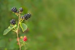 生长在灌木的森林黑莓 在被弄脏的自然绿色背景的莓果 库存照片