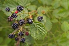 生长在灌木的森林黑莓 在被弄脏的自然绿色背景的莓果 图库摄影