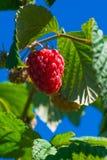 生长在灌木的莓反对蓝天 免版税图库摄影