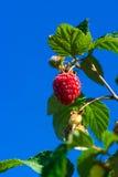生长在灌木的莓反对蓝天 免版税库存照片