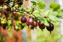 生长在灌木的鹅莓在庭院里在夏天 免版税库存照片