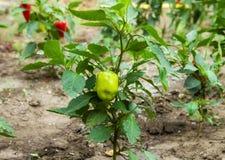 生长在灌木的绿色辣椒粉胡椒 免版税库存图片