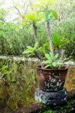 生长在热带庭院里的大戟属 库存图片