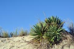 生长在特拉华的沙丘的丝兰 免版税库存图片