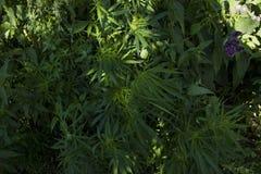 生长在狂放的大麻 免版税图库摄影
