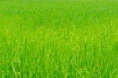 生长在玉米田的米 免版税库存图片