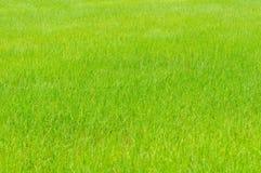 生长在玉米田的米 免版税库存照片