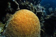 生长在珊瑚礁的脑珊瑚土墩的特写镜头 免版税库存照片