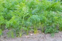 生长在生态庭院里的年轻红萝卜 免版税库存照片