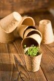 生长在生物可分解的泥炭沼的盆的幼木 库存图片