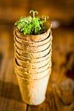 生长在生物可分解的泥炭沼罐的盆的幼木 选择聚焦 库存照片
