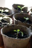 生长在生物可分解的罐的盆的幼木 库存照片