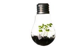 生长在电灯泡的植物隔绝在白色 库存图片