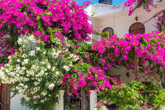 生长在白色房子墙壁的白色和桃红色夹竹桃 免版税库存图片