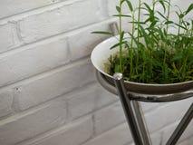 生长在白色碗的新鲜的水田芥新芽 免版税图库摄影