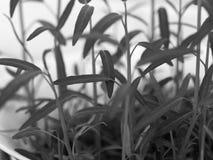生长在白色碗的新鲜的水田芥新芽 库存图片