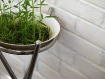 生长在白色碗的新鲜的水田芥新芽 图库摄影