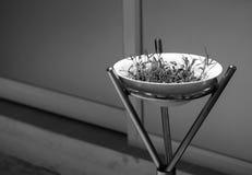 生长在白色碗的新鲜的水田芥新芽 免版税库存图片