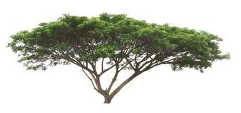 生长在白色背景中的大绿色树 免版税库存照片