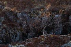 生长在石峡谷的小树 库存照片