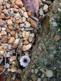 生长在石渣的紫色和白色象花的蘑菇 图库摄影