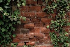 生长在砖墙上的常春藤藤 库存图片