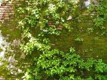 生长在砖墙上的早晨时间和绿色爬行物和年轻树 免版税库存图片