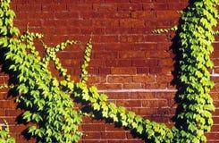 生长在砖墙,信标岗,波士顿,麻省上的常春藤 免版税库存图片