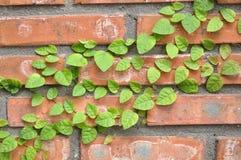 生长在砖金属的藤本植物 库存图片