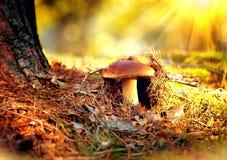 生长在秋天森林里的等概率圆蘑菇 免版税库存照片