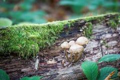 生长在秋天的狂放的森林蘑菇 免版税库存图片