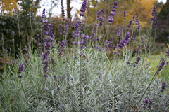 生长在秋天的紫色淡紫色 免版税图库摄影