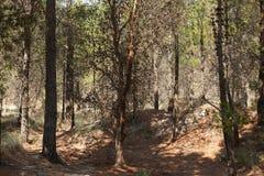 生长在种植园的杉树 库存图片