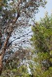 生长在种植园的杉树 库存照片