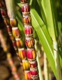 生长在种植园的甘蔗植物在考艾岛 图库摄影