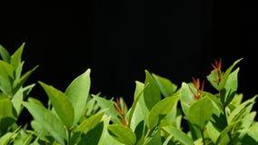 生长在种植园的绿色植物 有生长在种植园的绿色叶子的植物反对黑背景 影视素材
