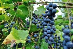 生长在篱芭的康科德紫葡萄 库存照片