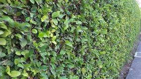 生长在篱芭的绿色植物 免版税库存照片