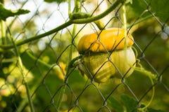 生长在篱芭的绿皮胡瓜 图库摄影