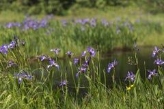 生长在纽芬兰池塘附近的狂放的虹膜 免版税图库摄影