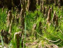 生长在绿草, Congaree国家公园的赛普里斯膝盖 免版税库存图片