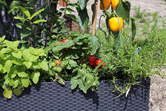 生长在罐的菜和草本 免版税库存图片