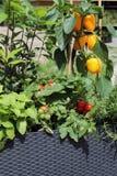 生长在罐的菜和草本 免版税库存照片