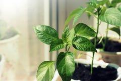 生长在罐的辣椒粉植物室内 免版税库存图片